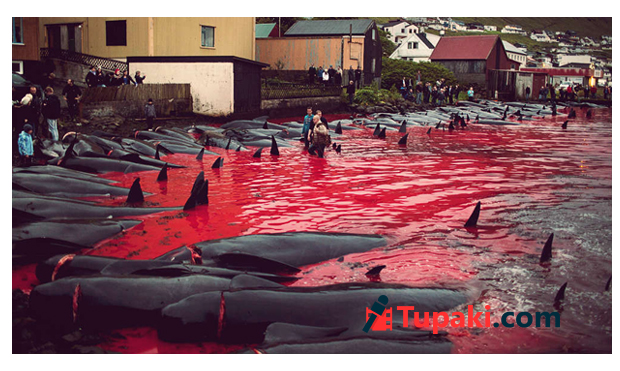 250 whales massacred by locals on beach in the Faroe
