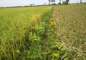 Research agencies develop new variant of rice variety