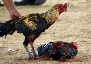 Cock Fights Completed in Godavari Districts