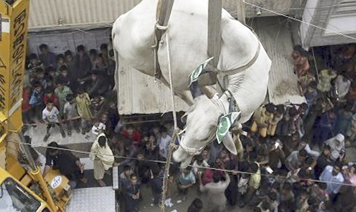 Photograph Shows A Bull Being Lowered By Crane For Sacrifice In Pakistan And Animal Lovers Are Fumin