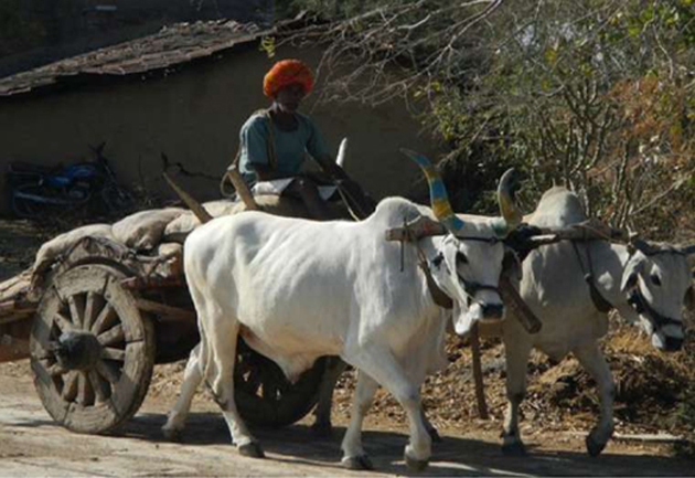 The challan of Rs 1,000 was issued to bullock cart owner Riaz Hassan