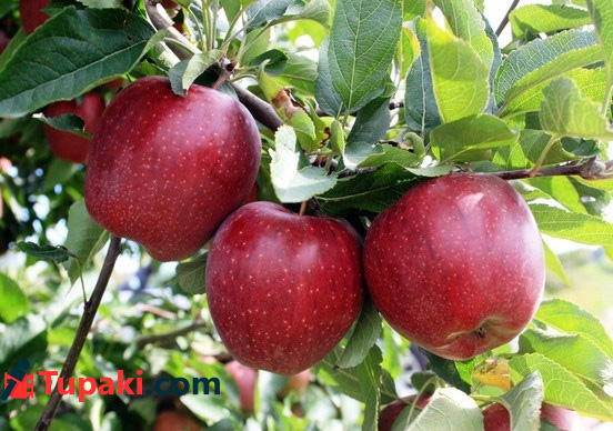 Apples in Chintapalli