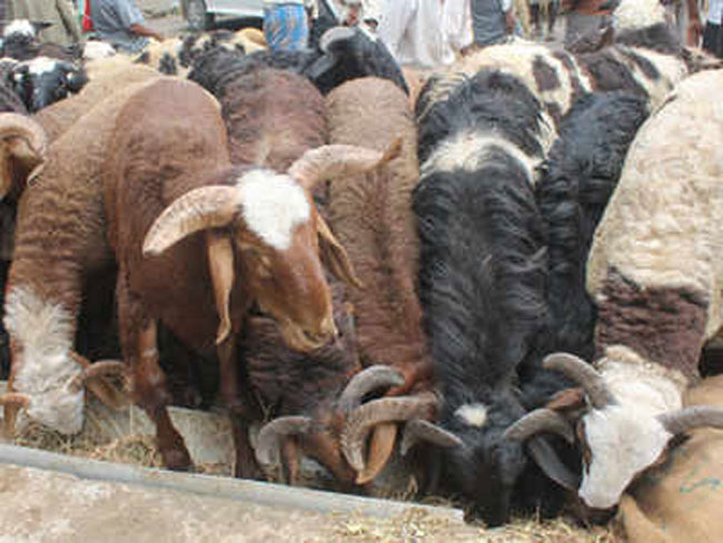 71 sheep to compensate eloping wife in Indian village