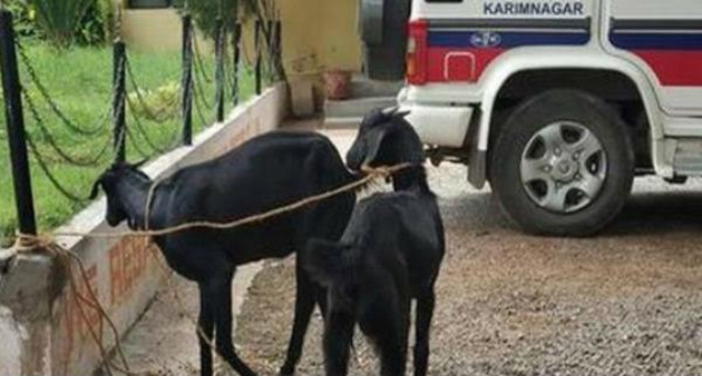 Two Goats Arrested in Telangana for Grazing on Saplings Planted by Environmental Group