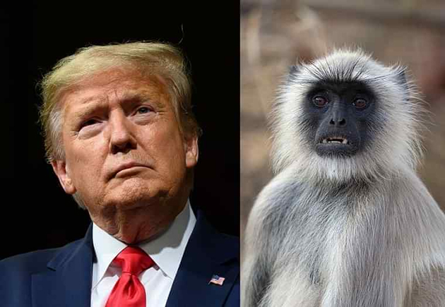 Five Langurs Deployed to Keep Away Monkeys During Donald Trump Tour