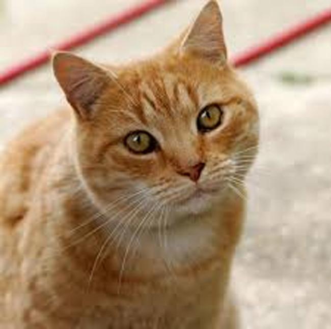 Cat is an Infected corona virus