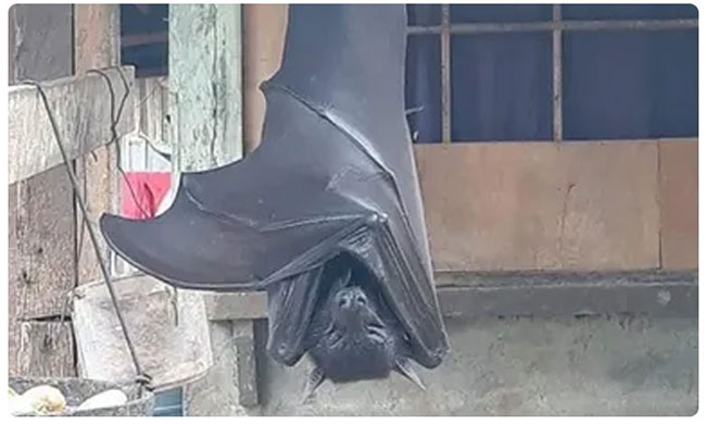 picture of human sized bat from philippines goes viral