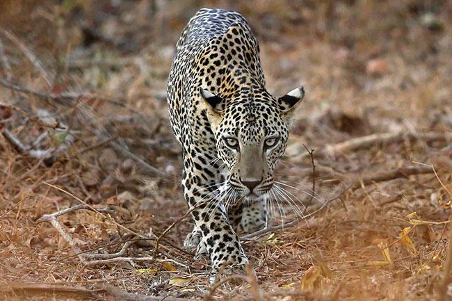Leopard attack on motorists on Thirumala Ghat Road!