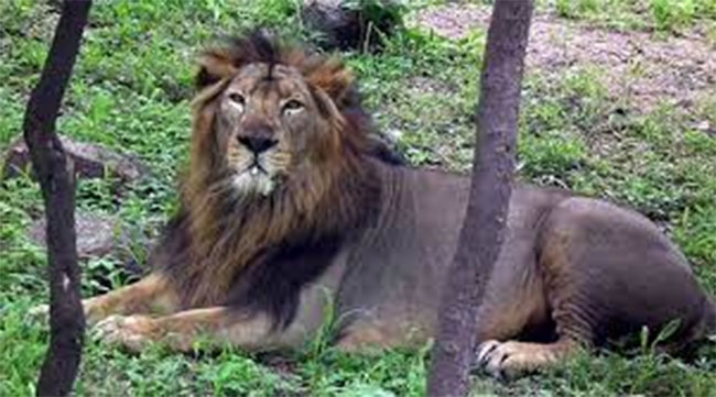 Corona infected 8 lions in zoo park