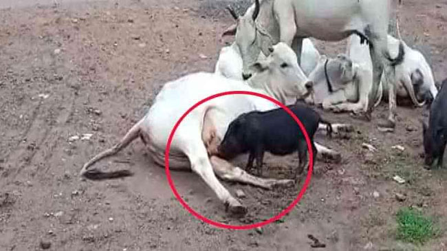 A cow that gave milk to a piglet
